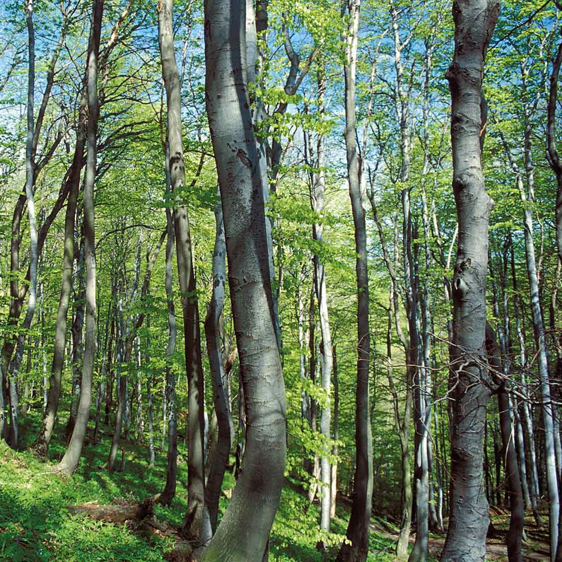 Zaščitena drevesa v občini Poljčane